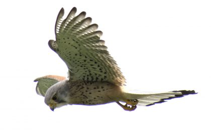 Kestrel Rainham Marshes Purfleet Essex