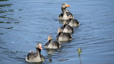 Walthamstow Wetlands Geese