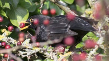 Blackbird Eating Berries At Christmas Rainham Marshes