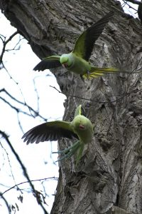 Green Parrots Hampstead Heath