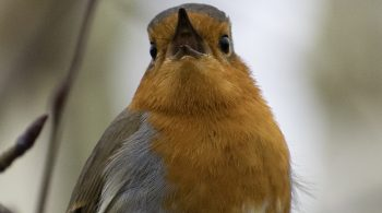 Robin Golders Hill Park RSPB Birdwatch