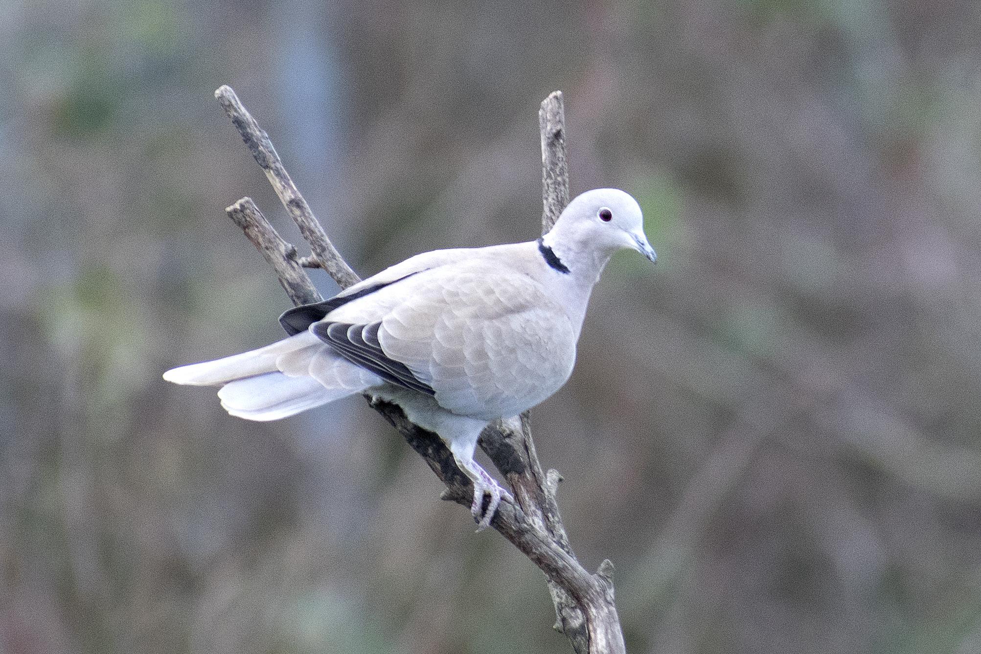 RSPB Birdwatch Collared Dove