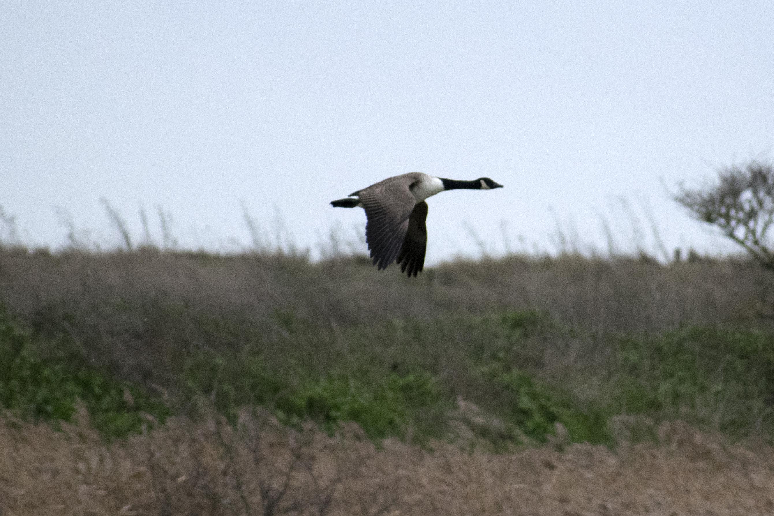 Goose In Flight Rainham Marshes