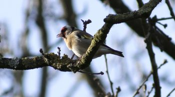 Goldfinch Hamstead Heath