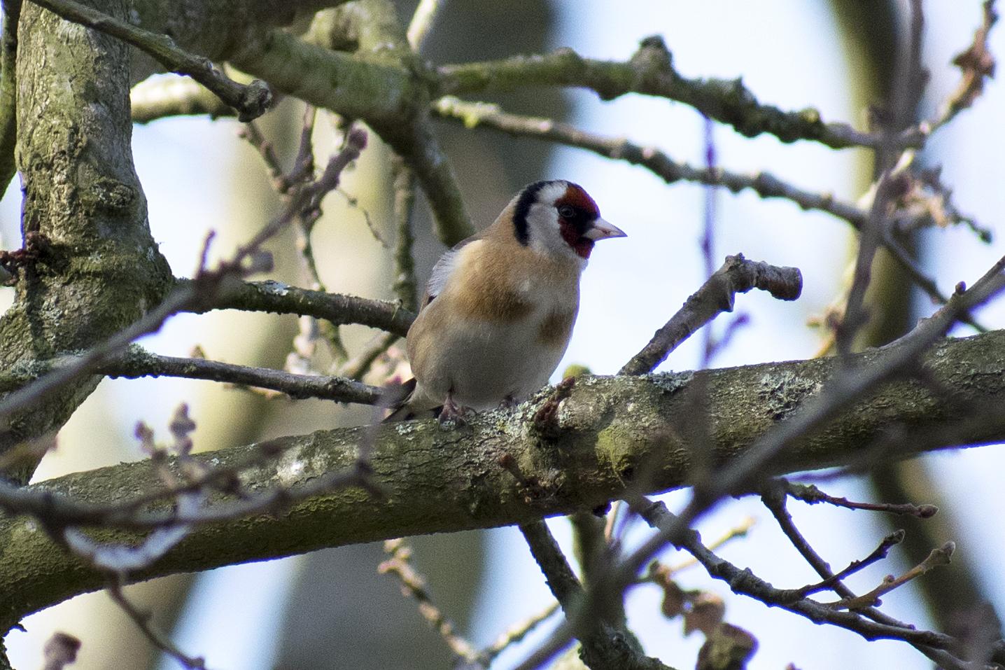 Goldfinch Hamstead Heath