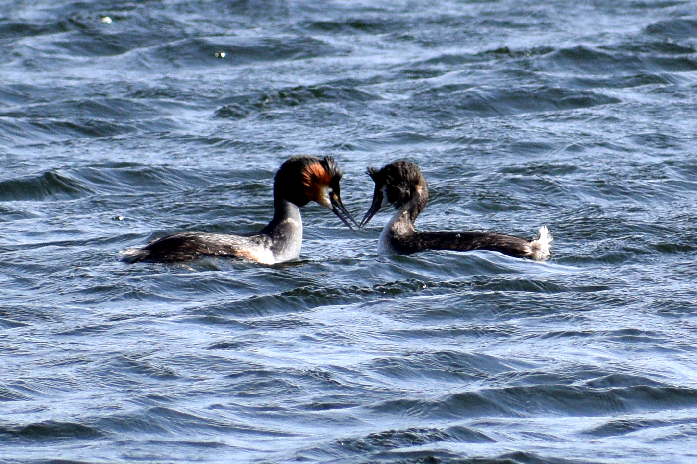 Great Crested Grebe Pair Courting Walthamstow Wetlands
