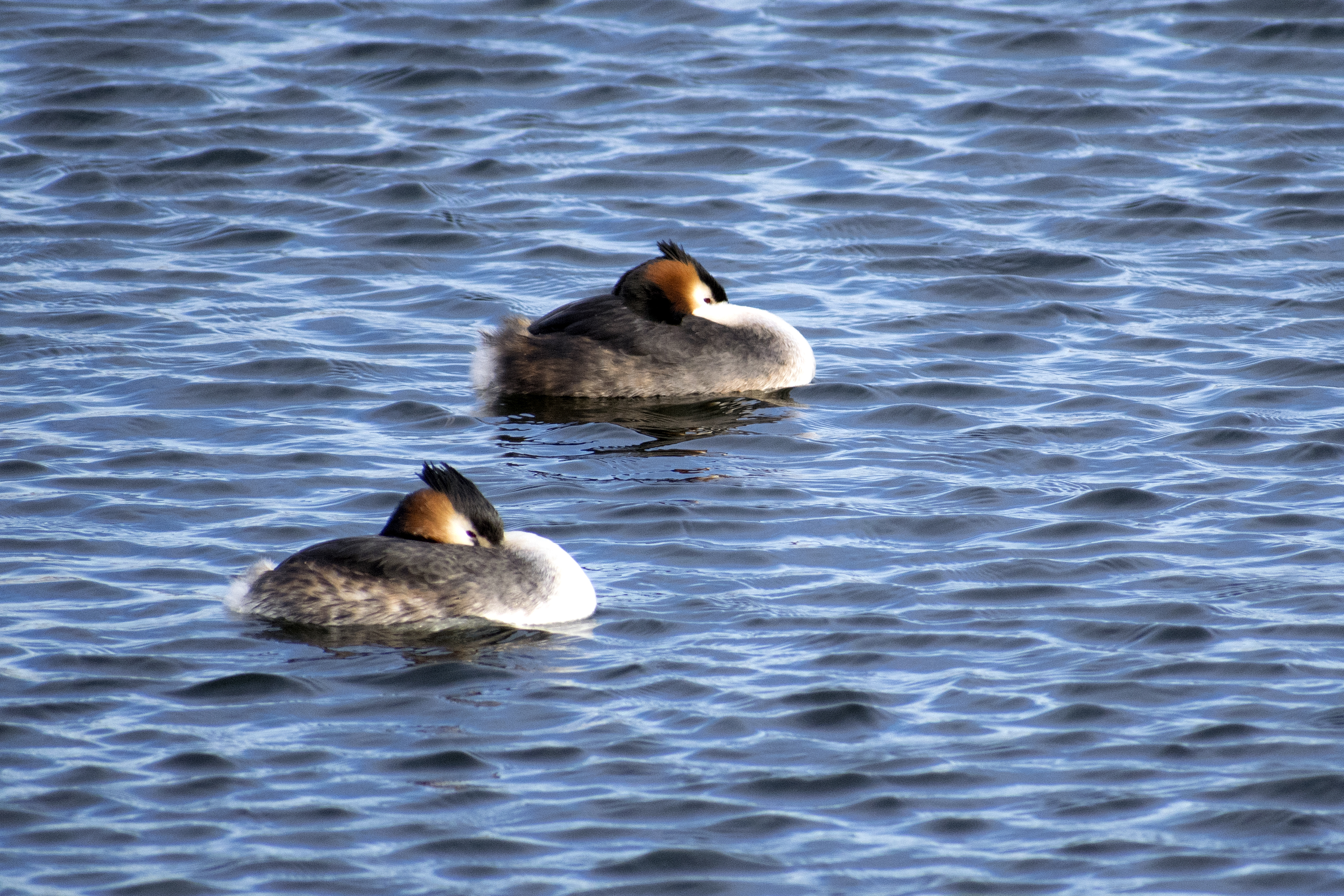 Great Crested Grebe Windy Spring Day Walthamstow Wetlands