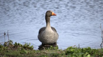 Greylag Goose Walthamstow Wetlands
