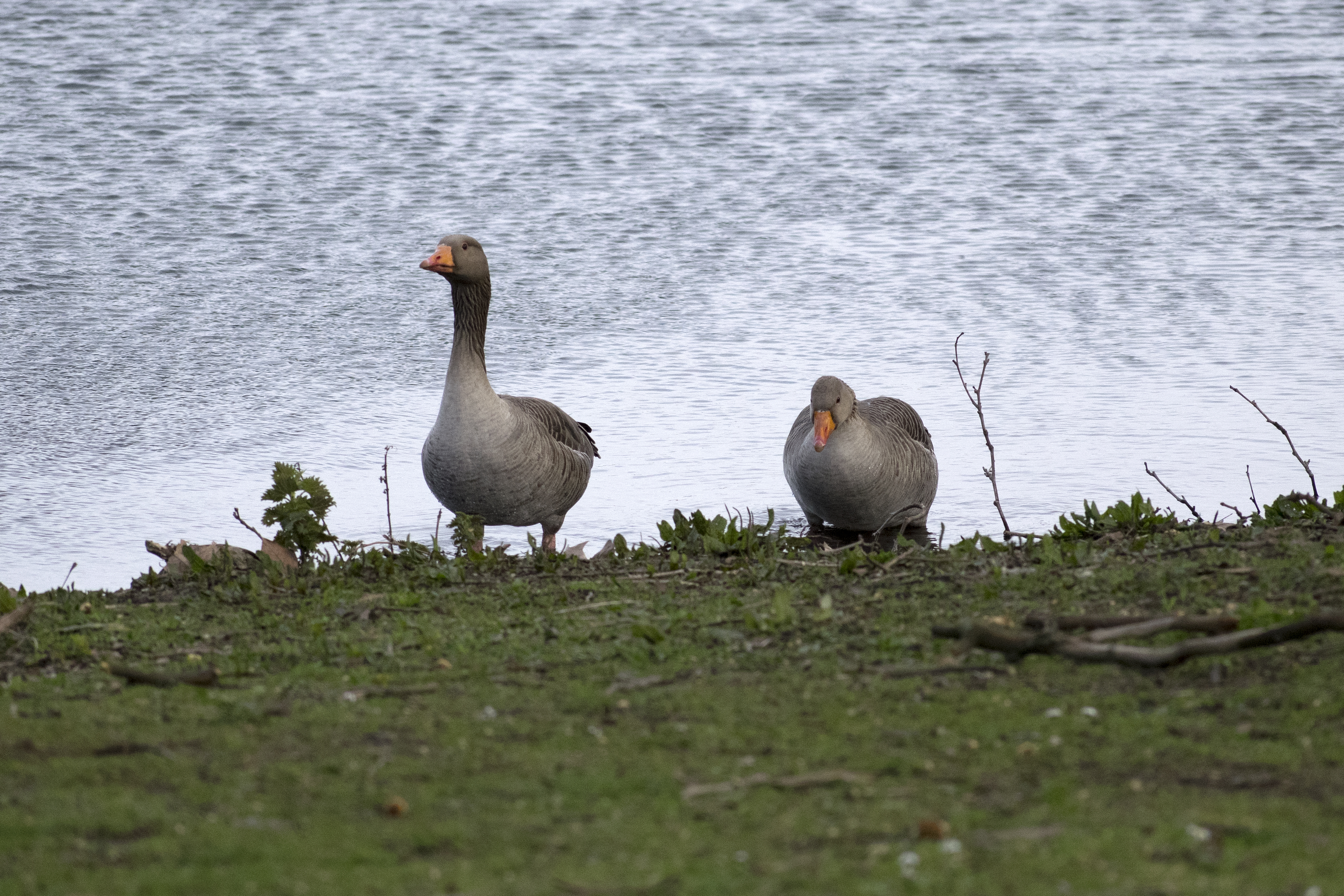 Greylag couple Walthamstow Wetlands