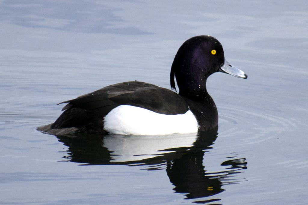Ring Necked Duck Walthamstow Wetland