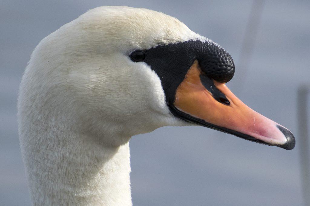 Swans at Walthamstow Wetlands